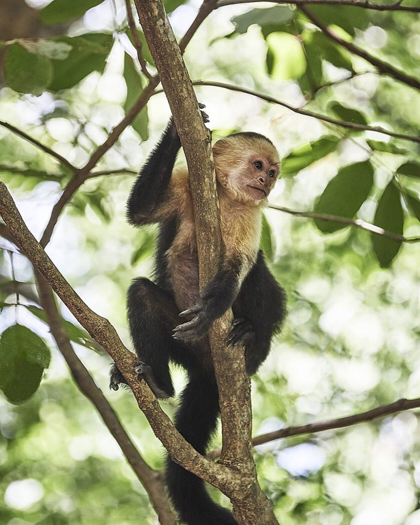 White faced monkey costa rica