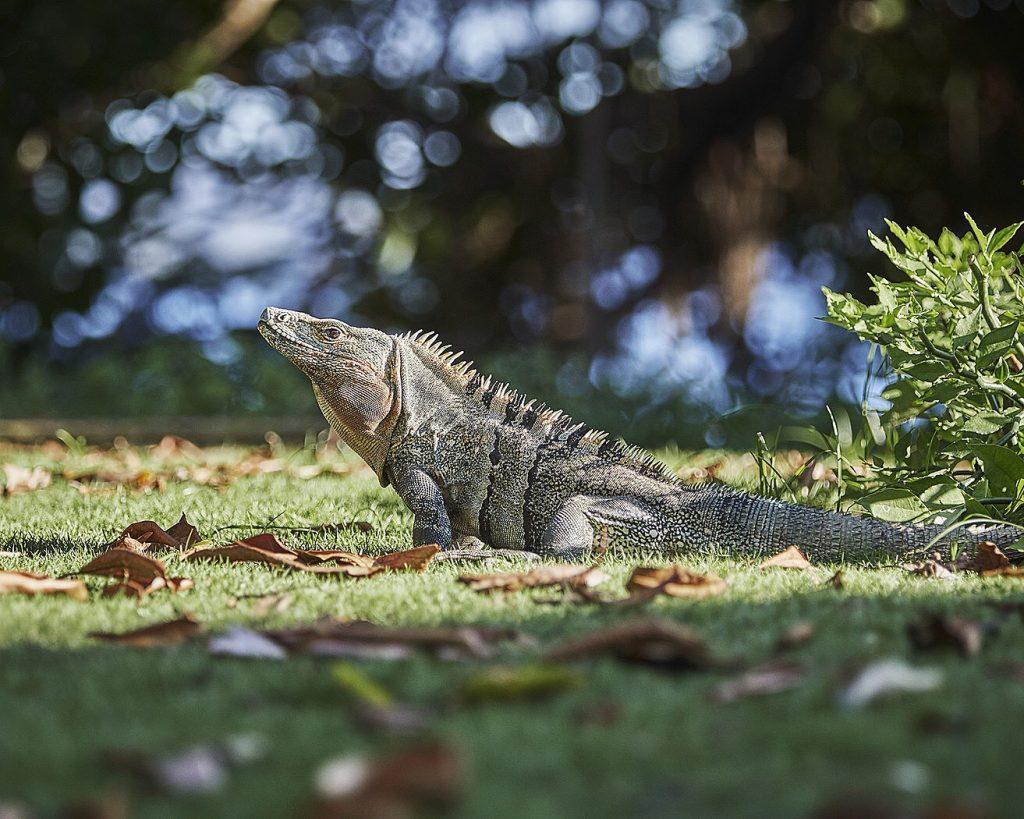 Lizard costa rica